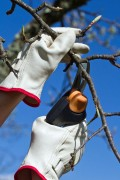 a tree being trimmed with pruning shears